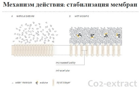 Действие эктоина