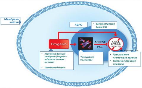 Действие прогерина на старение клетки