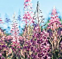Willowherb (Виллоухерб)
