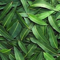 Эвкалипт эфирное масло (Eucalyptus Essential Oil)