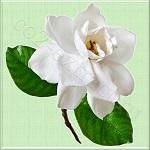 Gardenia Stems GX™