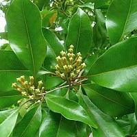Гвоздики (листья, побеги) эфирное масло