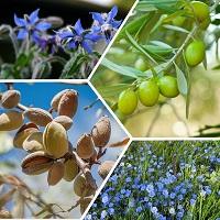 Oleosoft-4 (Олеософт) - ферментированная смесь масел бораго, оливы, миндаля и льна