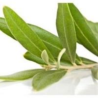 Оливы дикорастущей стволовой культуры лизат