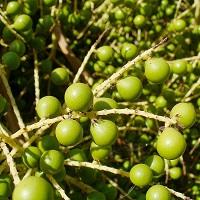 Пальмы Сабаль (Sabal) экстракт жирорастворимый