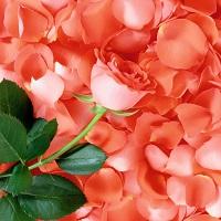 Сверхкритический CO2 экстракт розы лепестков высококонцентрированный  (Эфирное масло, %, не менее 20, терпены и терпеноиды, %, не менее 5)