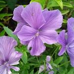 Violet Fragrant Oil